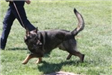 Kent Police K9 with Handler in Competition