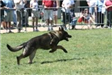 Kent Police K9 in Competition